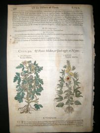 Gerards Herbal 1633 Hand Col Botanical Print. Venice & Yellow Mallow